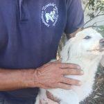 Un cane abbandonato alla periferia di Posada salvato dalla polizia locale