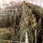 Maxi operazione a Orosei, sequestrata una tonnellata di marijuana: tre allevatori arrestati