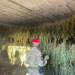 Quasi mille piante di marijuana trovate in un ovile a Jerzu: 2 arresti